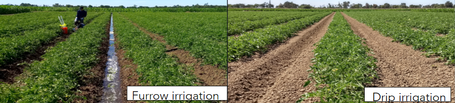 Furrow vs Drip irrigation