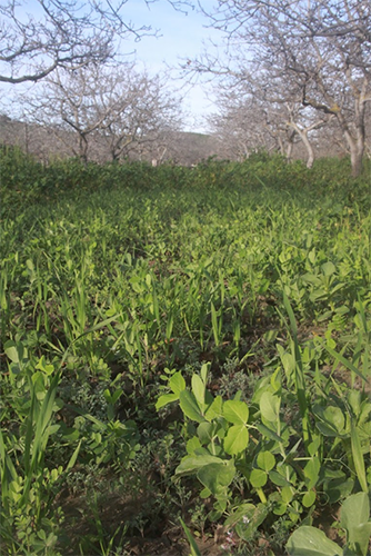 Cover Crops | Agricultural Sustainability Institute