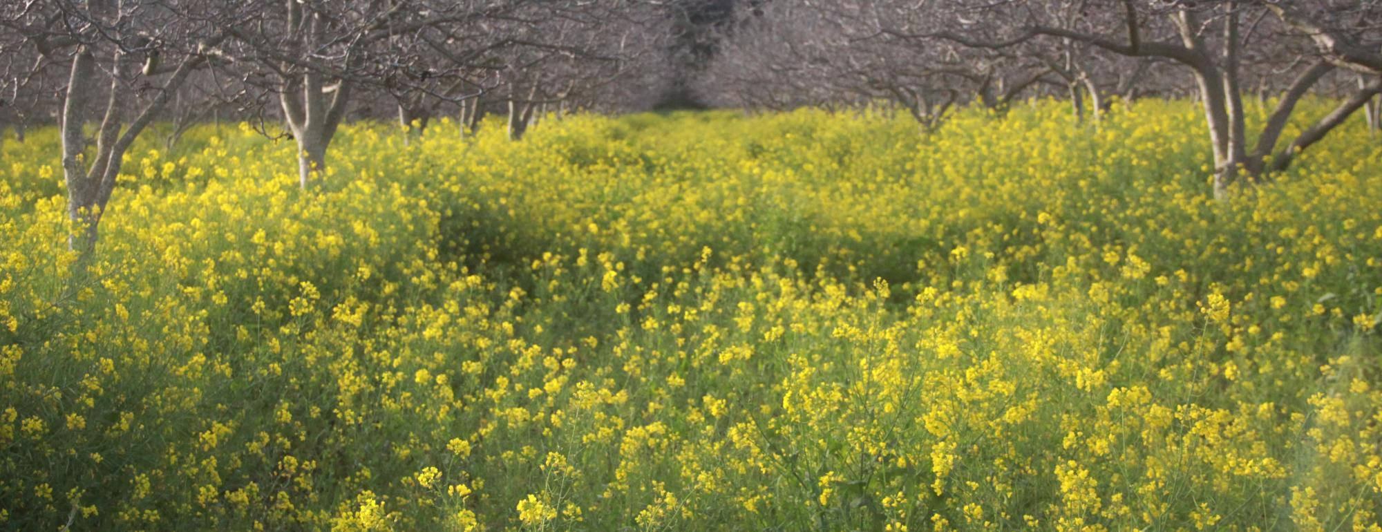 Walnut orchard planted with mustard